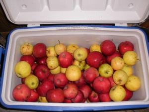 Over a bushel of apples